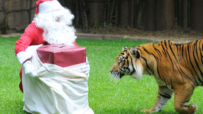 Hopefully this tiger was on the nice list.