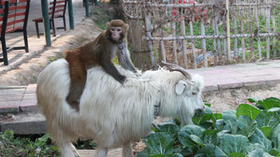Goat Riding Monkey